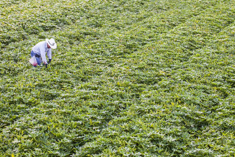 A worker harvests in a huge feild of sweet potato greens at Johnson's Backyard Garden in Austin, TX.