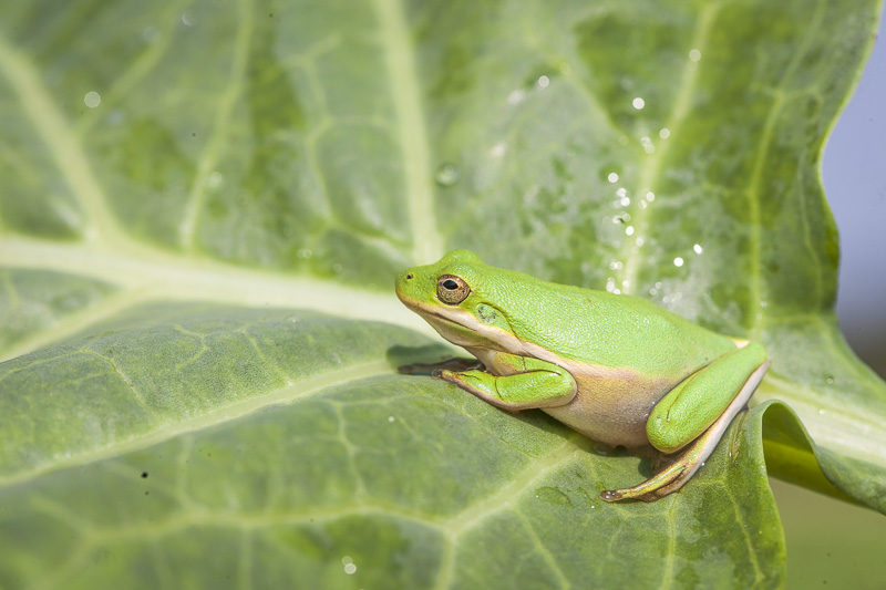 A green tree frog on a collard green leaf at Johnson's Backyard Garden in Austin, TX.