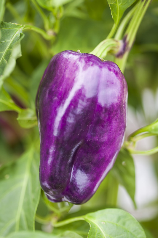 Close-up of a purple bell pepper at Johnson's Backyard Garden in Austin, TX.