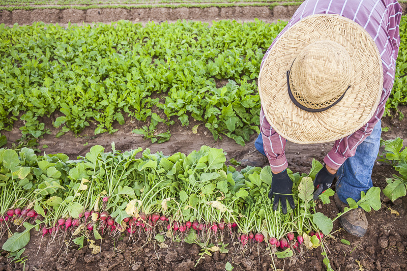 Harvesting radishes at Johnson's Backyard Garden, Austin, TX.