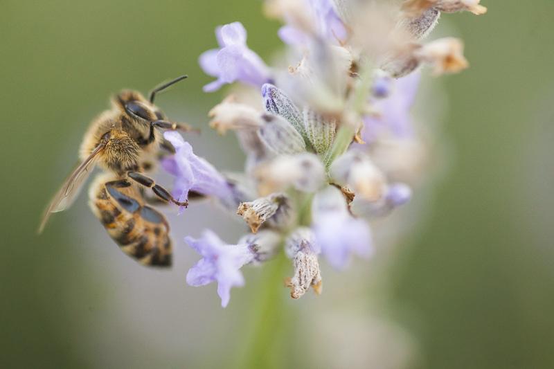 A honey bee lands on a lavender plant.