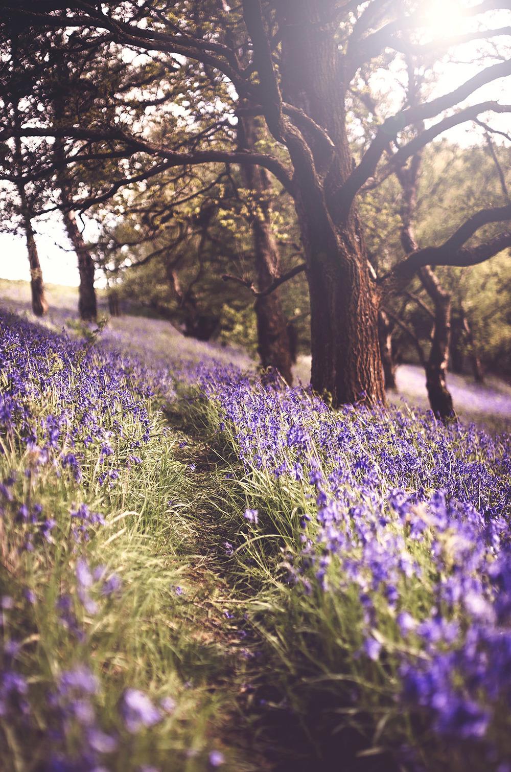 Bluebells_Malvern_hills