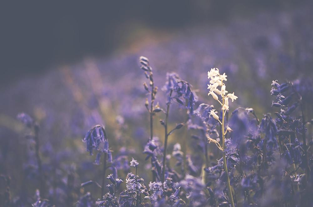 Bluebells_white_bell