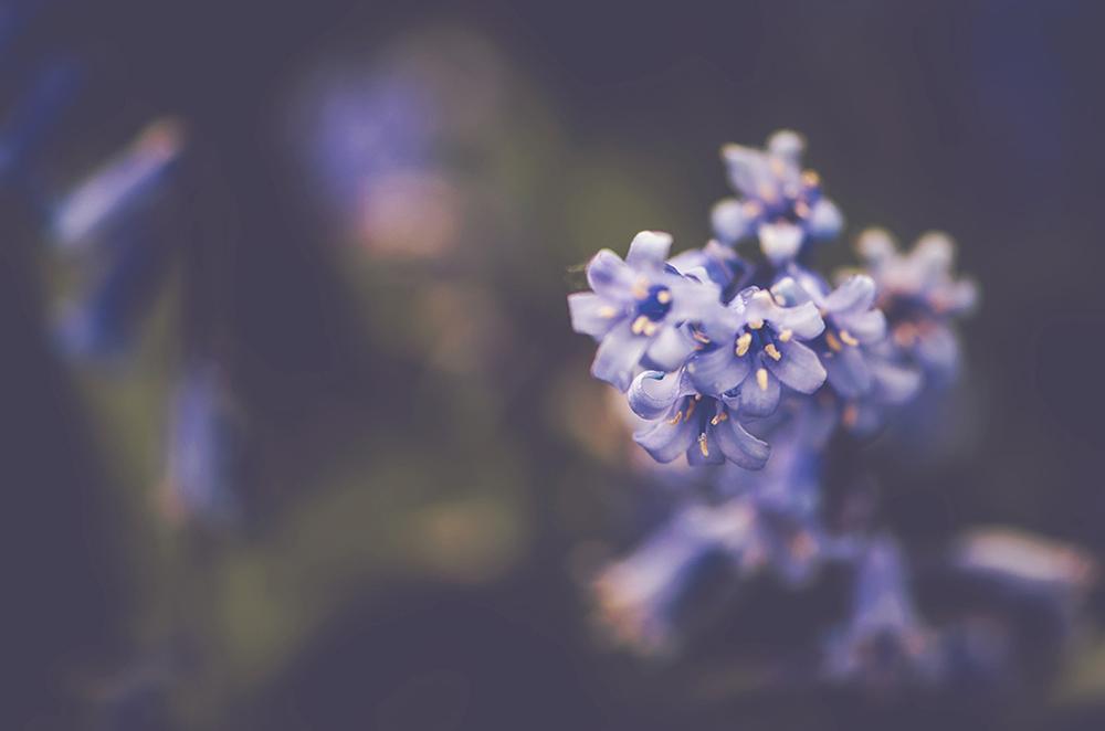 Bluebells_malvern