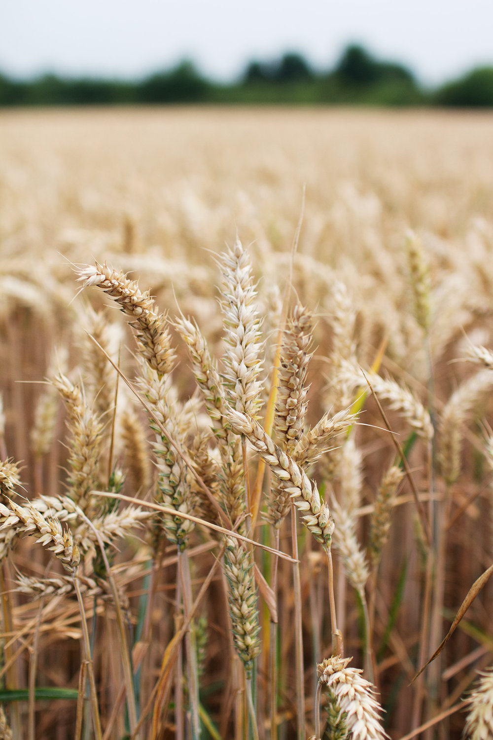 Close up of field of wheat in Belgium