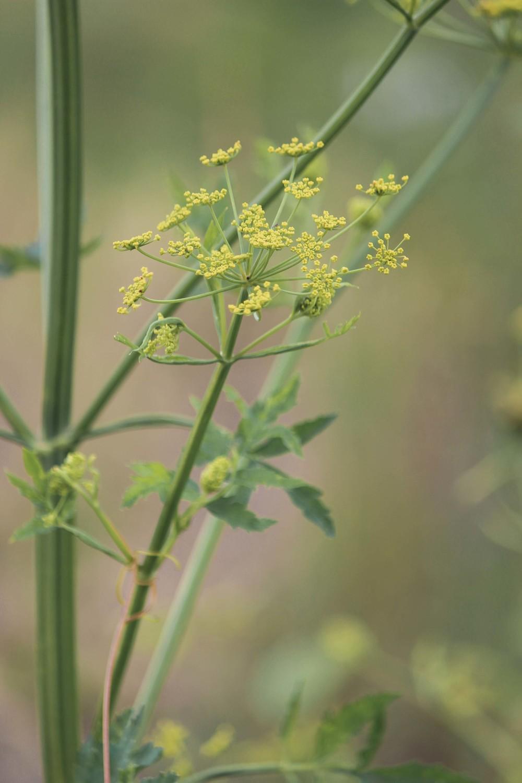 wild-parsnip-poison-parsnip-0110.jpg