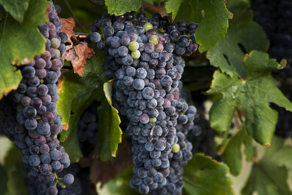 Grapes in a Vineyard No. 1.jpg