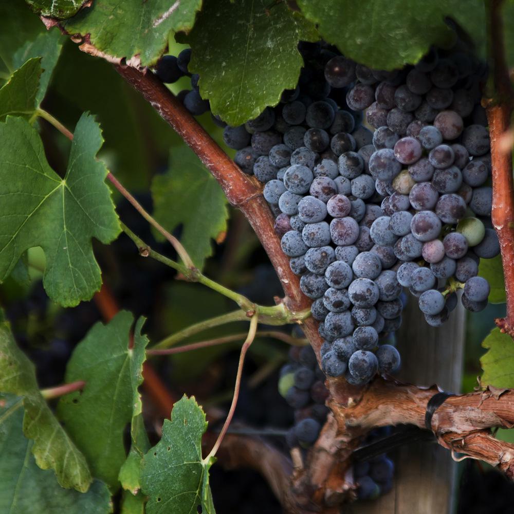 Grapes in a Vineyard No. 2.jpg