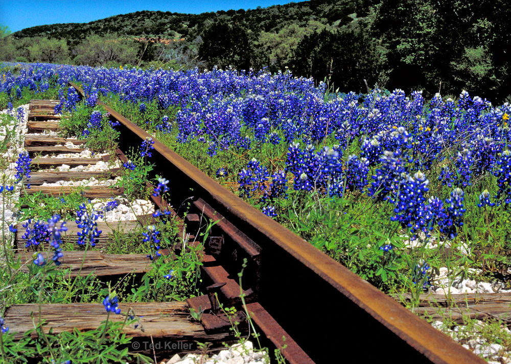 Bluebonnets By Tracks