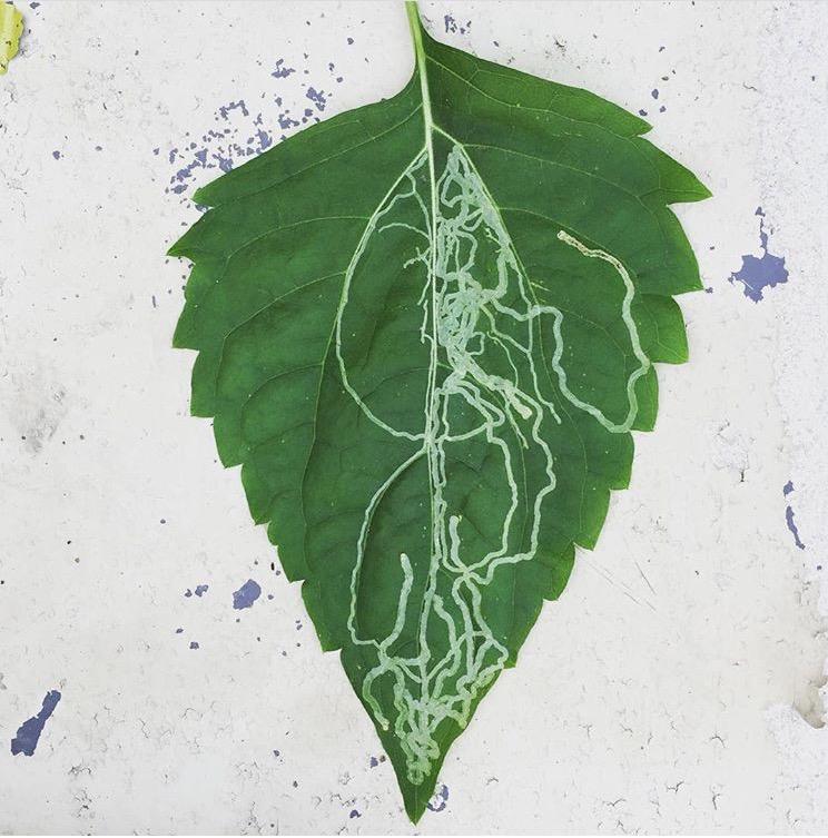leaf lace.jpg