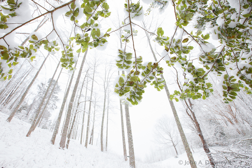 Translucent green leaves are juxtaposed against a blindingly-white background of a late-Spring snowstorm in the Smoky Mountains, North Carolina.