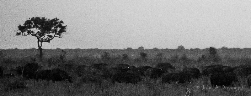 A pop of flash from 200m away catchlights the eyes of water buffalo at dusk.