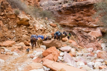 Hikers on their way to Supai Village in the Grand Canyon will be passed by horses and mules carrying mail and luggage. Supai Village is the last place in the U.S. to have mail delivery by mule.