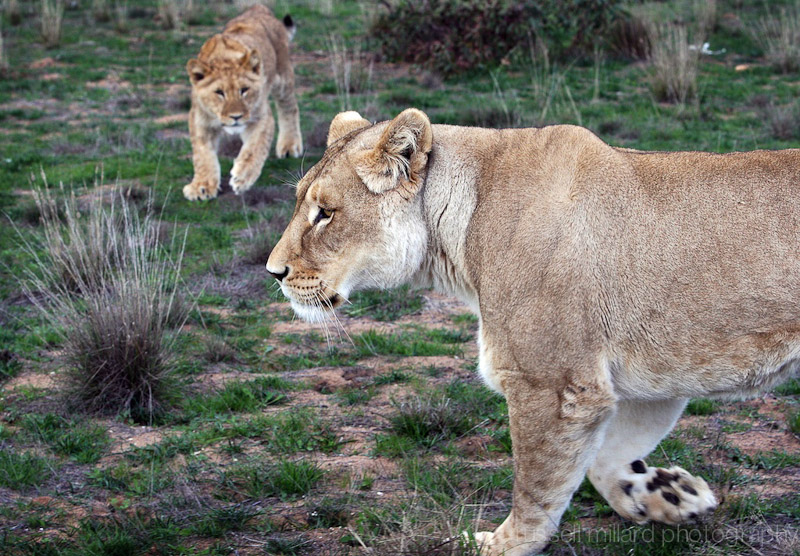 lion&cub copy.jpg