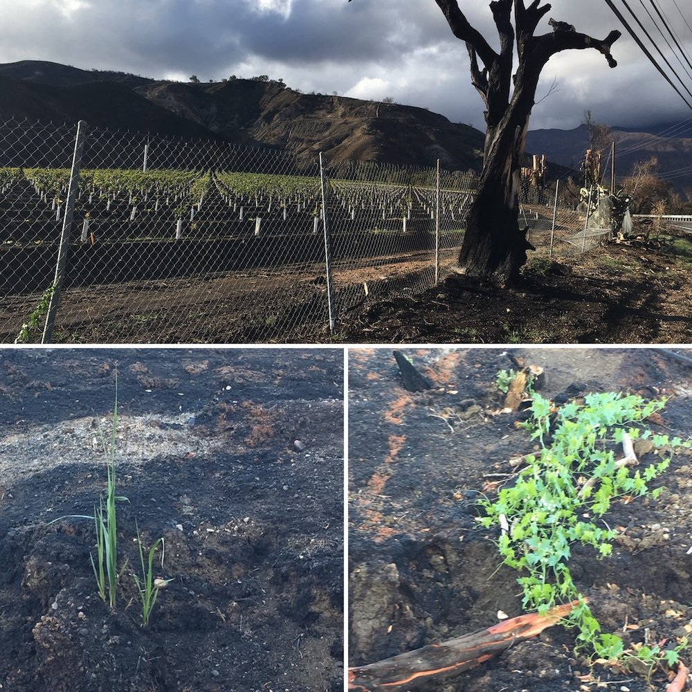 The Limoneira Ranch has been replanted with baby lemon trees, the only evidence of the fire, the remains of a blasted tree.  Along the side of the road, plants come up green through the ashy soil.
