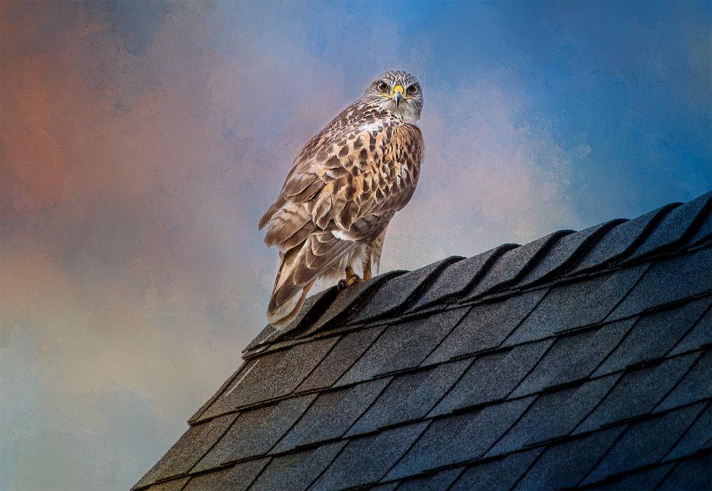 Hawk-warm.jpg