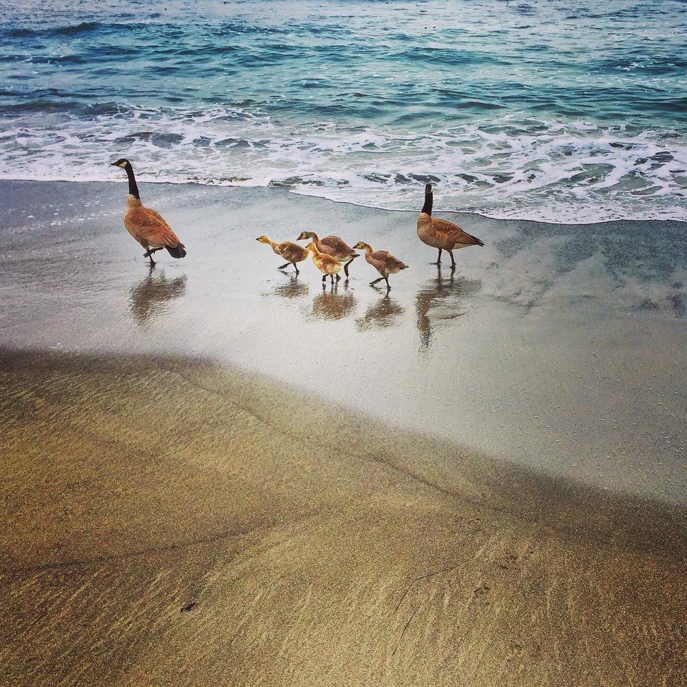 geese-ElkBeach.jpg