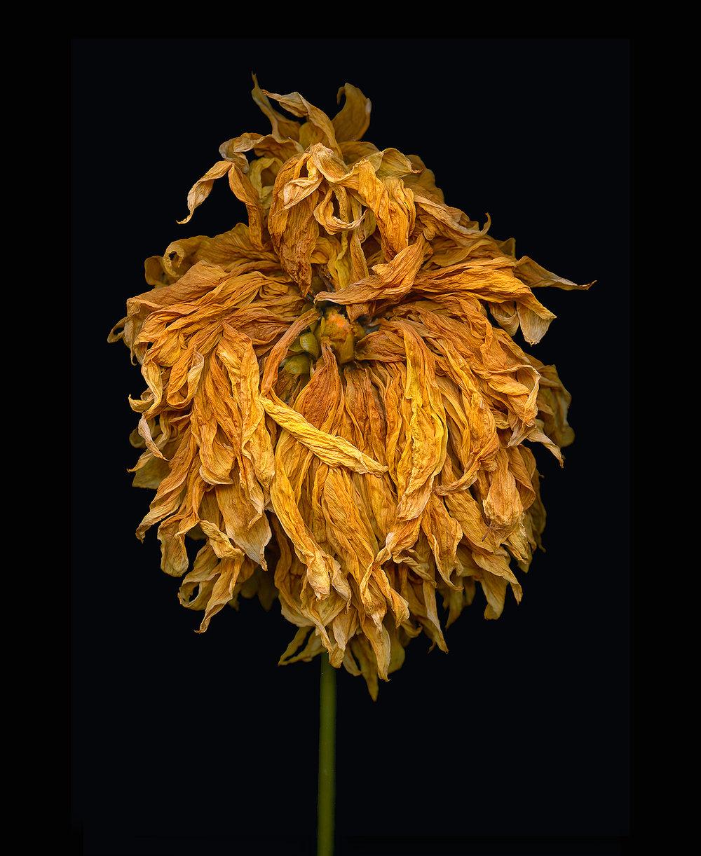 ageless-beauty-dahlia.jpg