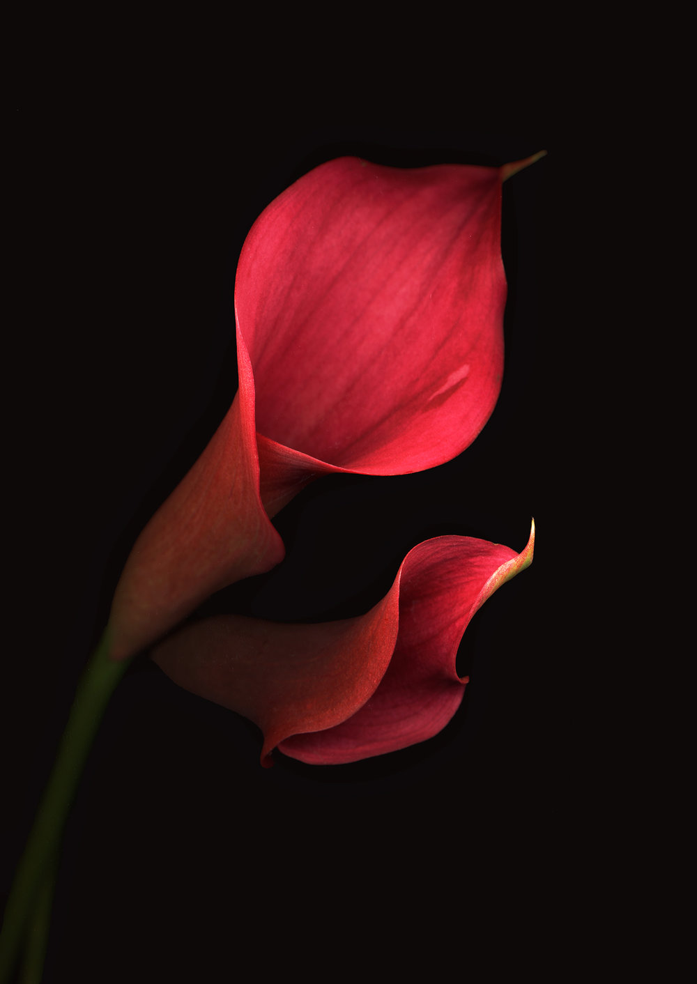 pink-calla-duo.jpg