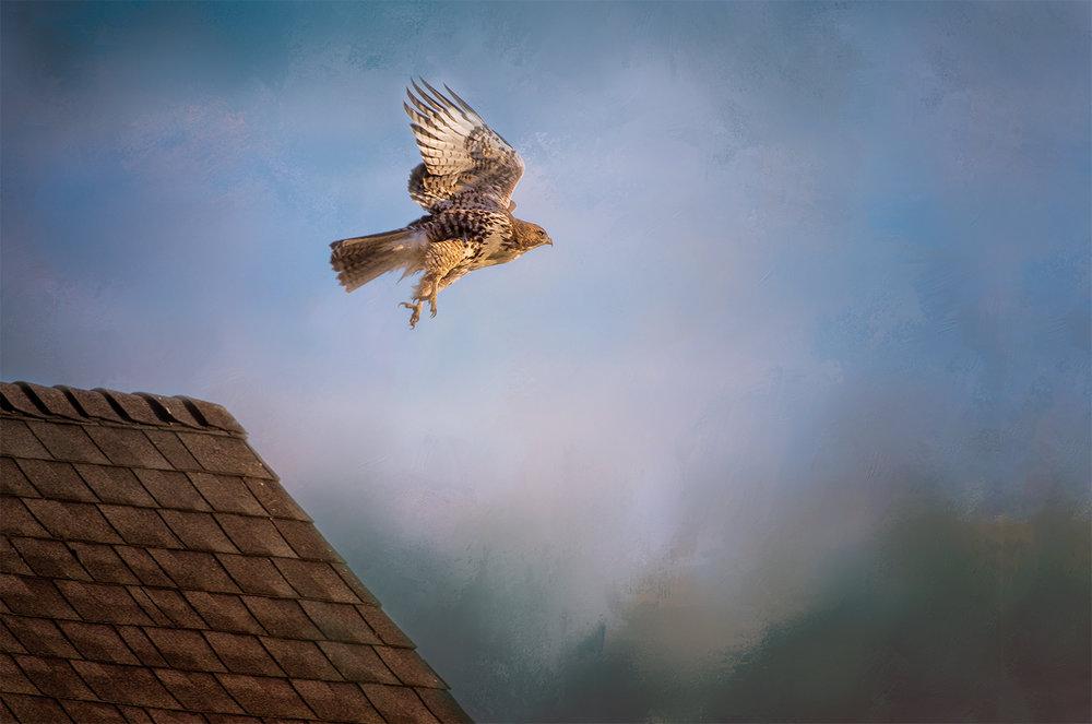 Hawk in flight.jpg