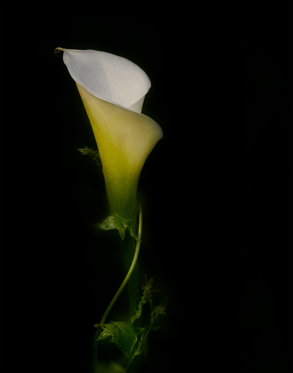 Calla-negative space.jpg