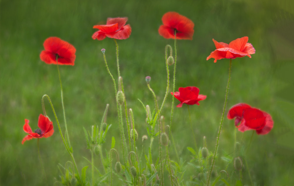 dancing red corn poppies.jpg