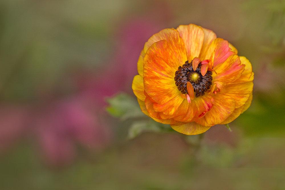 fall anemone.jpg