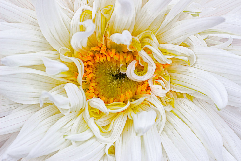 White dahlia with curls.jpg
