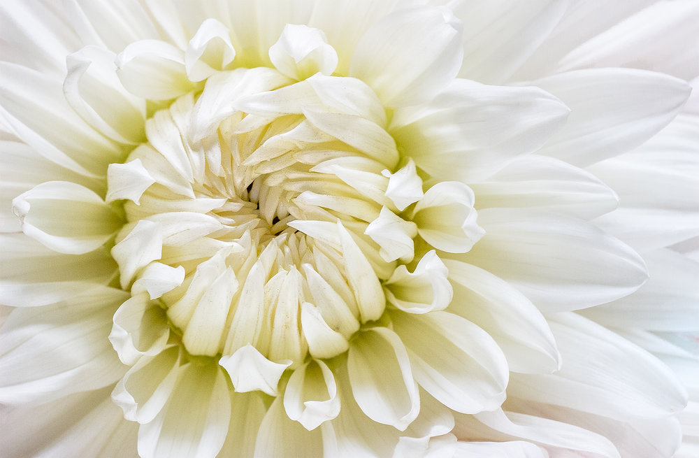 white dinnerplate dahlia.jpg