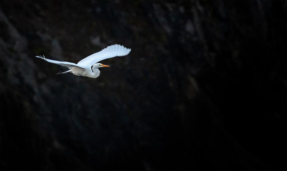 egret in flight.jpg