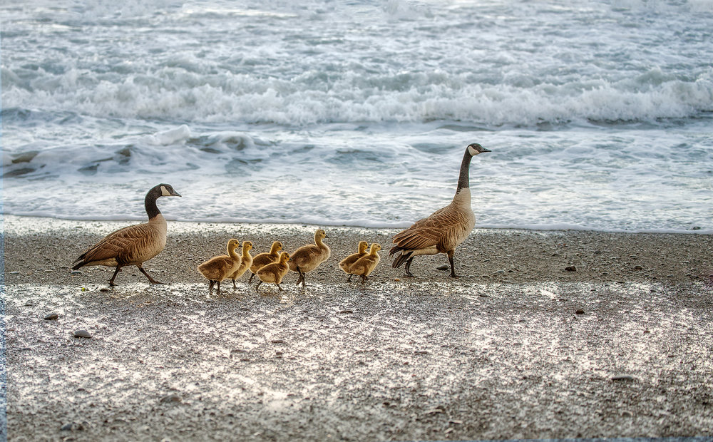 family of geese.jpg