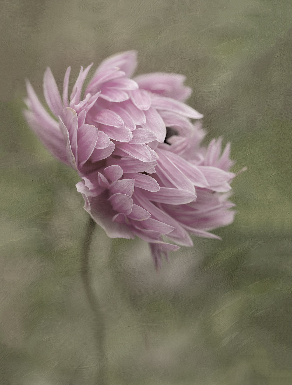 Foggy am double anemone-16x20-tinted.jpg