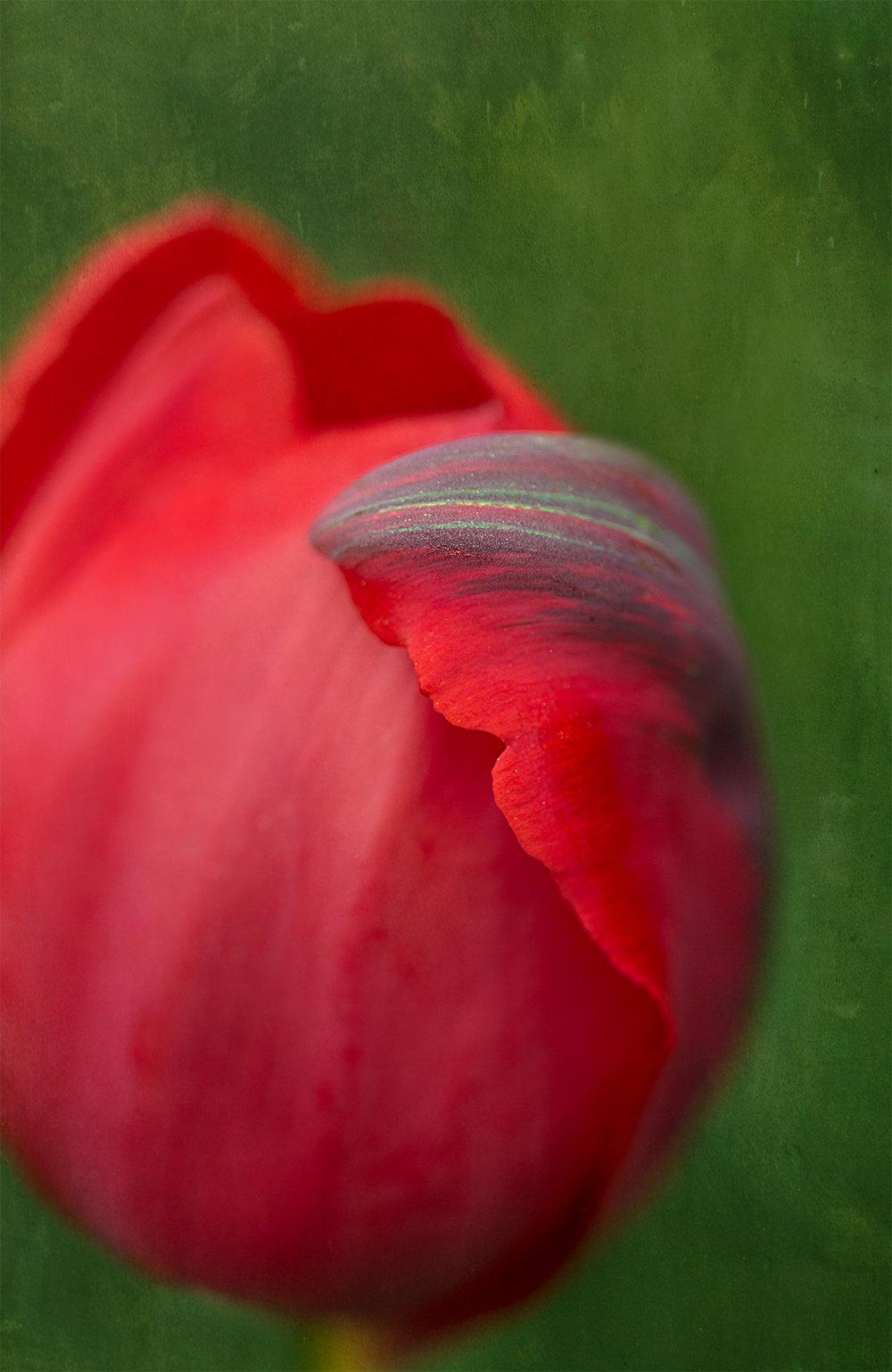 Parrot Tulip.jpg