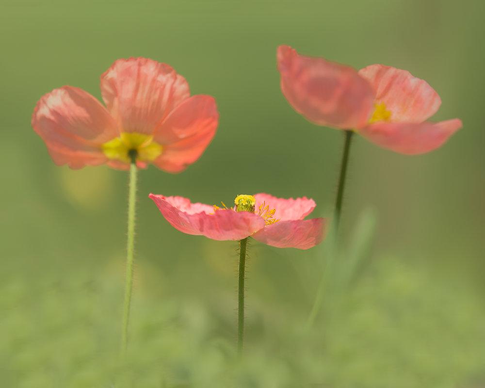 poppy dance.jpg