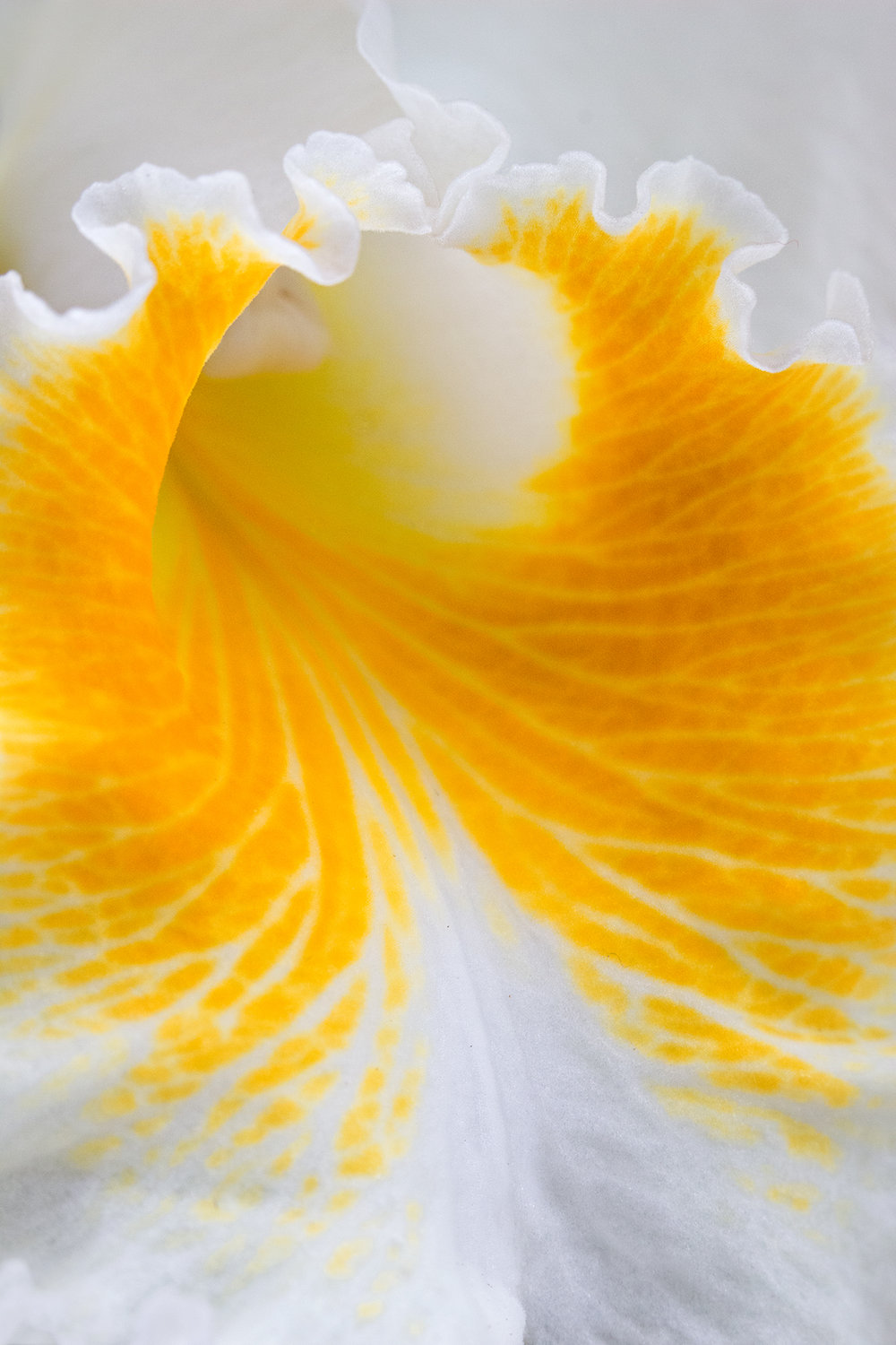 white & yellow frill orchid-merged.jpg