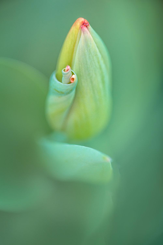 Tulip Curl2.jpg