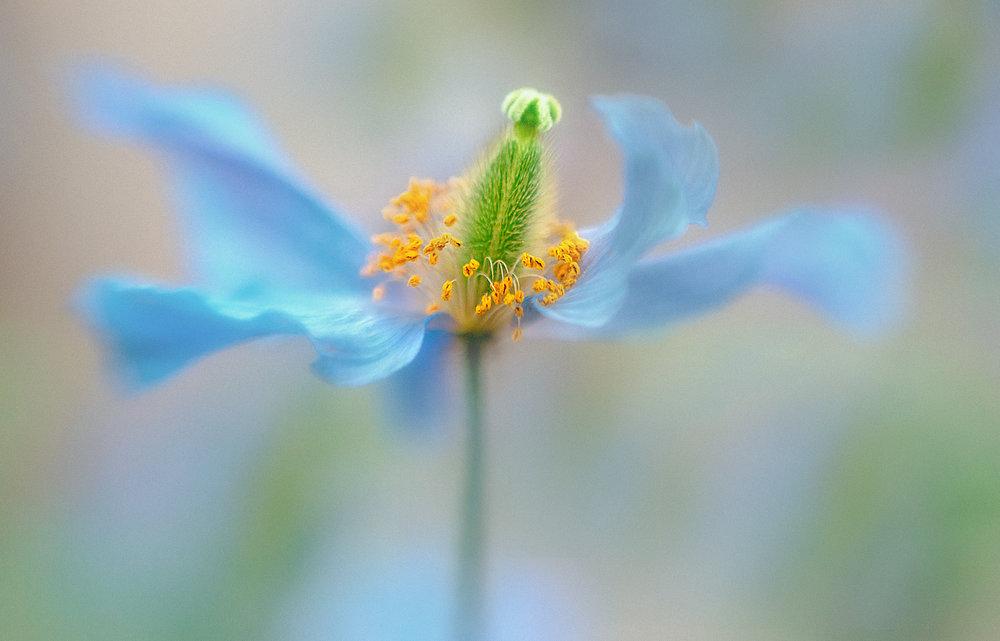 Blue Poppy2.jpg