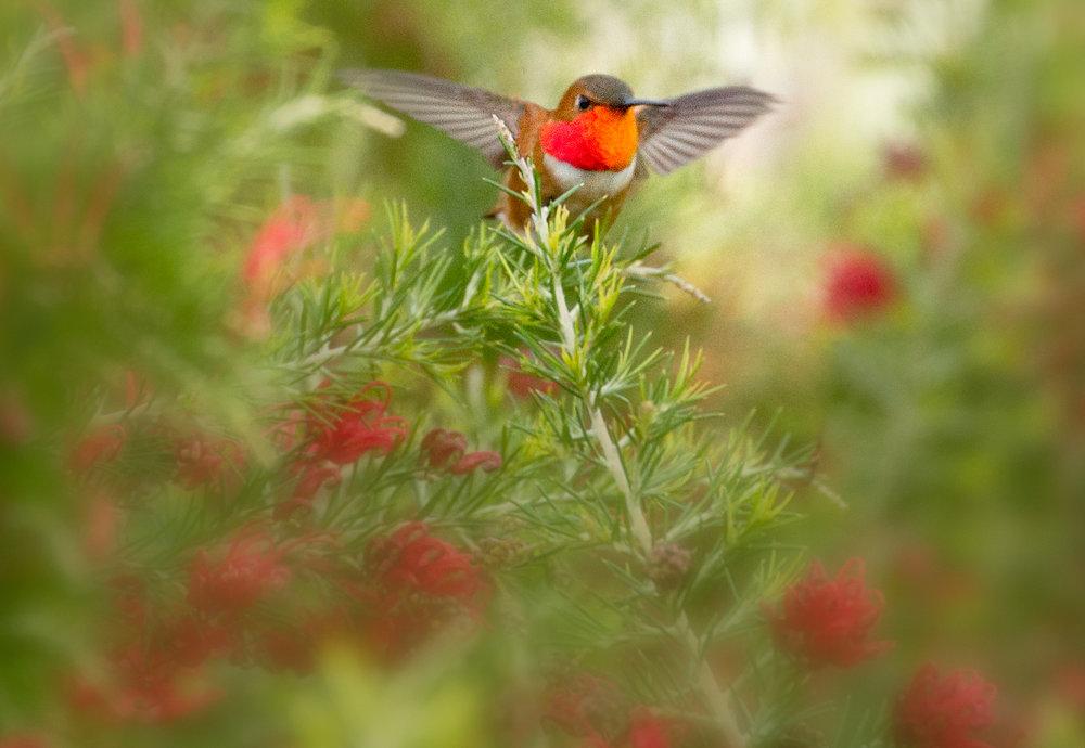 Rufus Hummingbird.-sharppsd.jpg