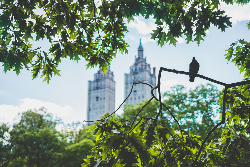 Pigeons roosting in Central Park
