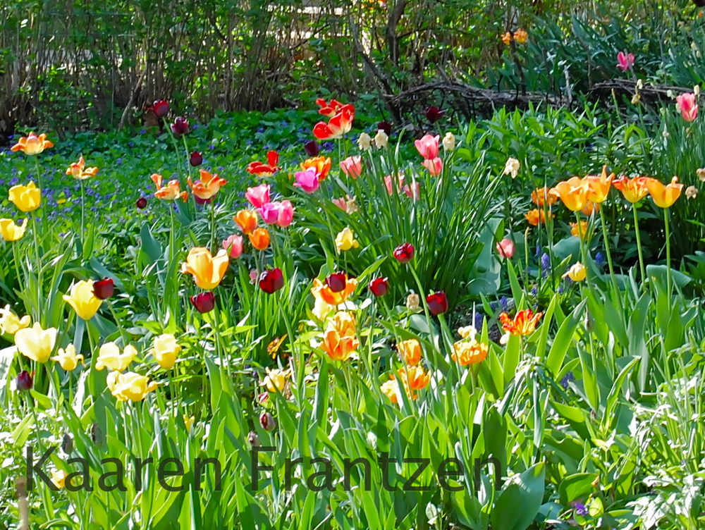 tulip chaos...... the way I like it.
