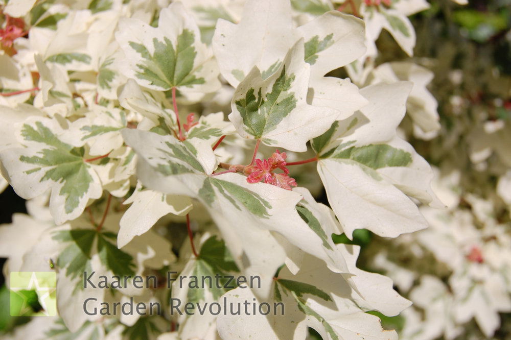 The bright white foliage of Acer campestre 'Carnival' rivals the brilliance of any white flower and lasts for the whole growing season