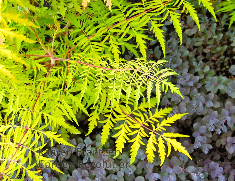 The almost iridescent yellow gold foliage of Rhus typhina tiger eyes, looks striking against the dark foliage of Sedum Vera Jameson