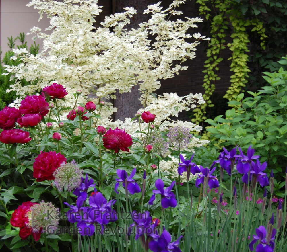 Iris and Peony look striking playing against the dramatic white foliage of the Acer campestre