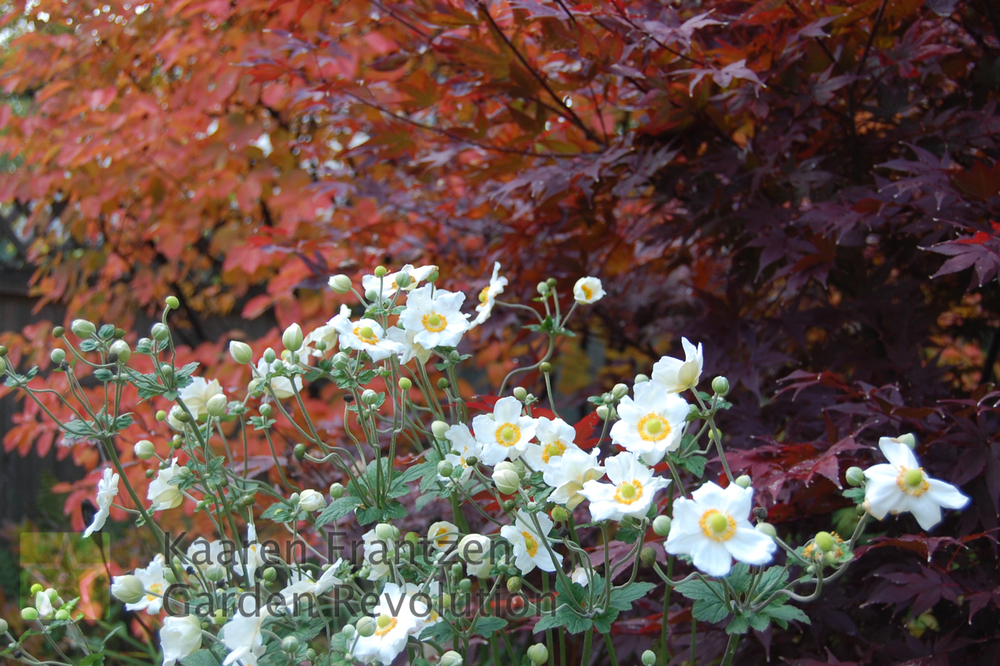 Bright white Anemone fronting fall foliage