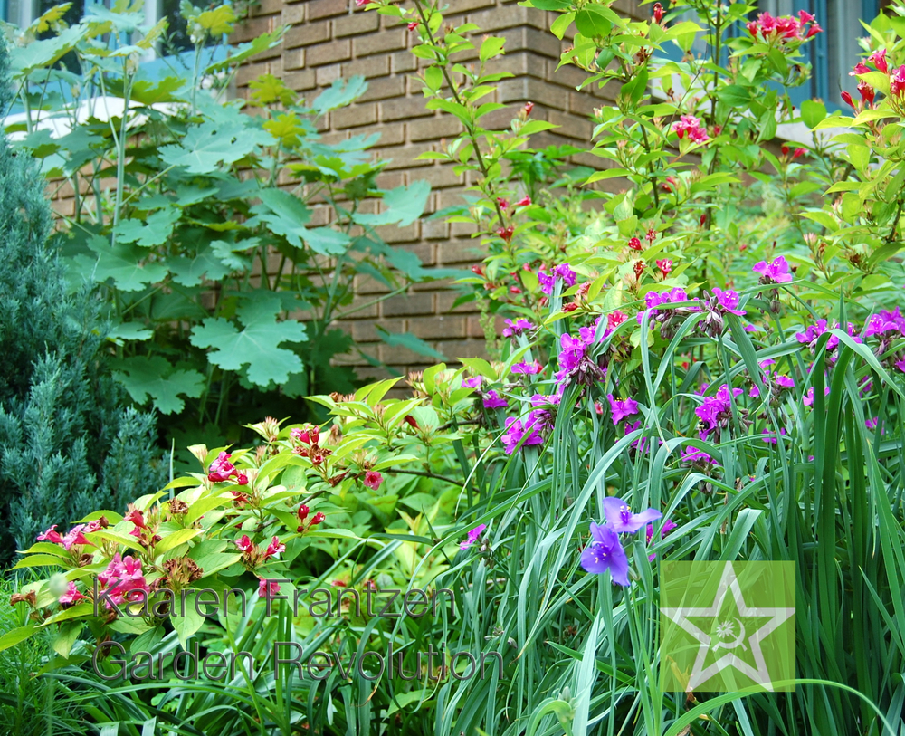 Tradescantia, Weigela rubidor, and the giant leaves of Macleaya cordata