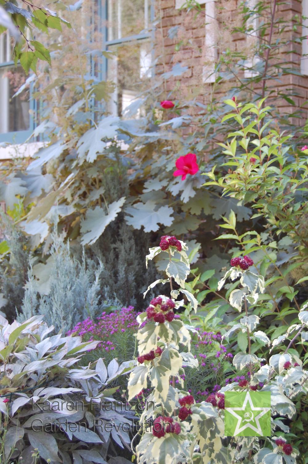 Hibiscus Syriacus Purpureus 'Variegatus' fronting plume poppy