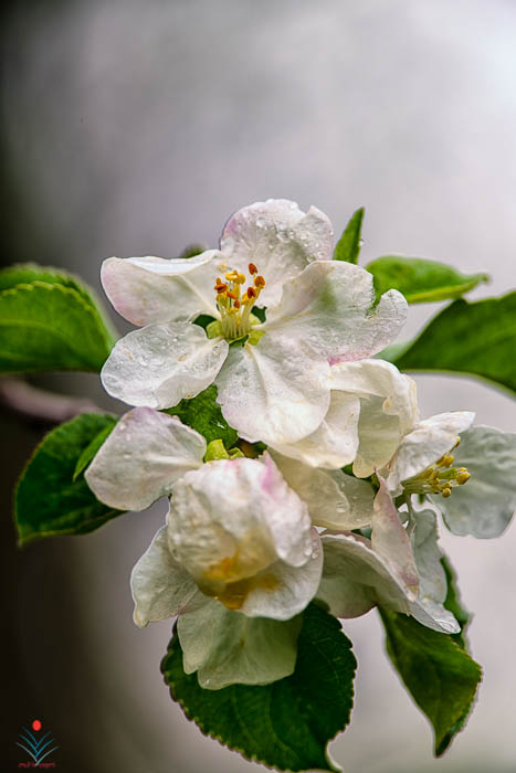 Spring Apple Blossoms in the Rain.jpg