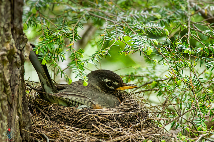 Nesting Robin at The Bluffs