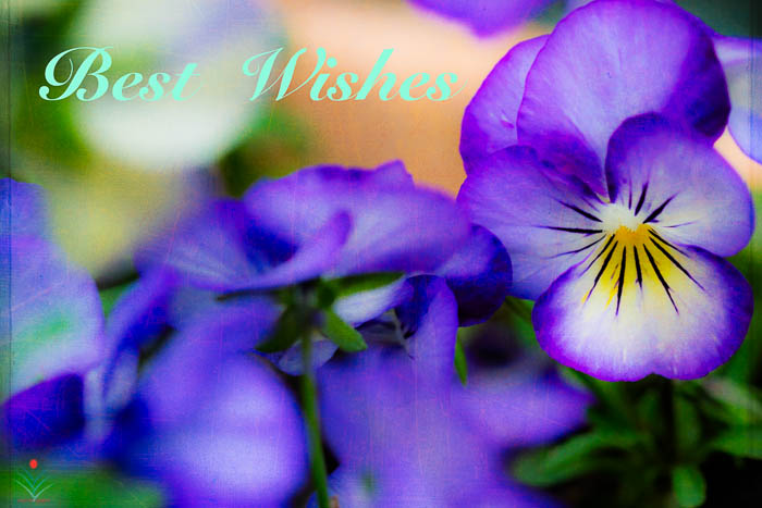 Local Pansy Best Wishes