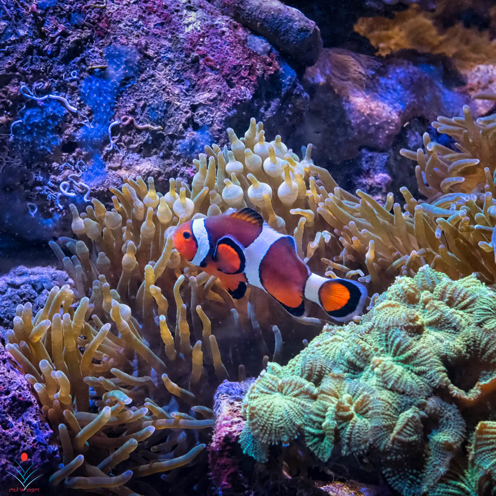 Clown Fish - Boston Aquarium.jpg